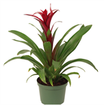 "Additional Images for 6"" Bromeliad Guzmania  ""phyto""         (Case 8)"