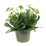 "Additional Images for 6"" Kalanchoe Assorted (Case 8)"