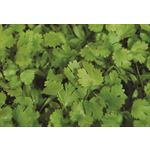 "Additional Images for 6"" Herbs  Coriander     (Case 6)"