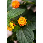 "Additional Images for 7.5"" Lantana     (Case 6)"