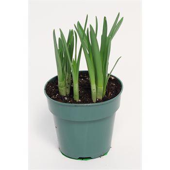 """4"""" Daffodil      (Case 18)"""