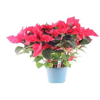 "8"" Poinsettia         Red       (Case 4)"