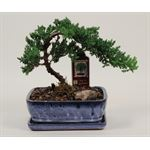 """Additional Images for 8"""" Bonsai Assortment Large     (Case 4)"""