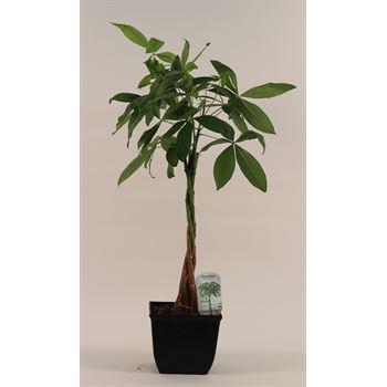 """8"""" Pachira Money Tree         (Case 6)"""