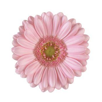 Gerbera Mini Pink