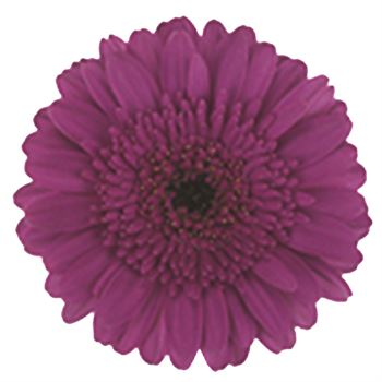 Gerbera Mini Picture Perfect