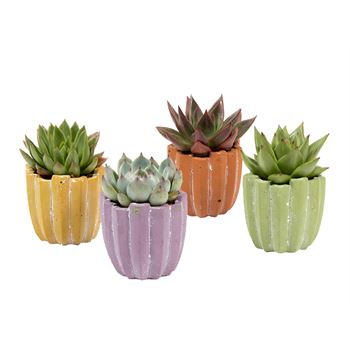 Indoor Garden Fall Concrete Mini   (Pack 24)
