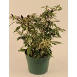 """Additional Images for 6"""" Ornamental Pepper        (Case 8)"""