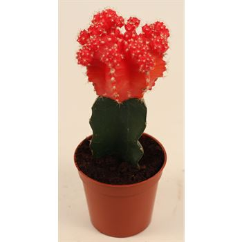 """3.25"""" Cactus Grafted Red   (Case 18)"""