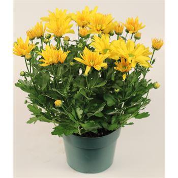 "6"" Mum Yellow Daisy (Case 8)"