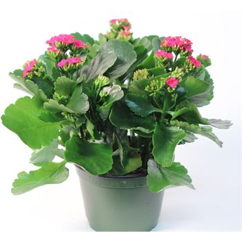 "6"" Kalanchoe Hot Pink (Case 8)"