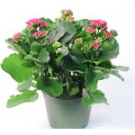 "Additional Images for 6"" Kalanchoe Hot Pink (Case 8)"