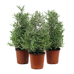 """Additional Images for 4"""" Lavender Christmas Tree                     (Case 18)"""