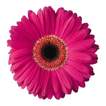 Gerbera Select United