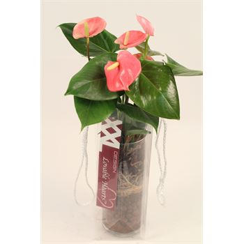 "4"" Anthurium in Glass         (Case 10)"