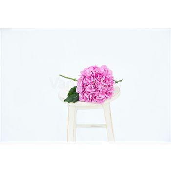 Hydrangea Local Pink