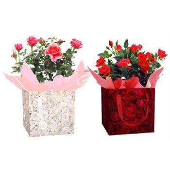 Indoor Garden Rose gift box (Case 15)