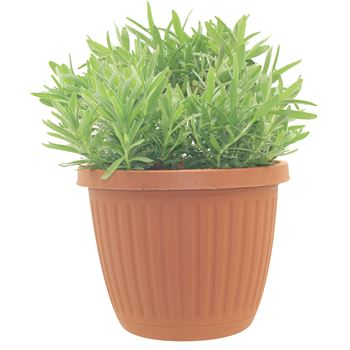 "6"" Herbs   English Lavender       (Case 6)"