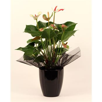 "5"" Anthurium ""Elegance"" in Ceramic  (Case 8)"