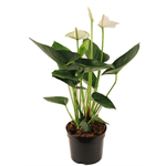 """Additional Images for 6"""" Anthurium (Case 8)"""