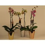 "Additional Images for 5"" Phal Orchid 2 Spike in Ceramic Pot (Case 8)"