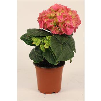 "4"" Hydrangea 1 Bloom   (Case 15)"