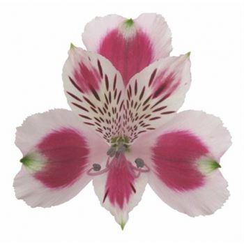 Alstroemeria Select Picante