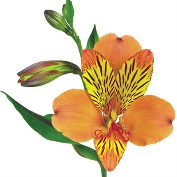 Alstroemeria Select Peach