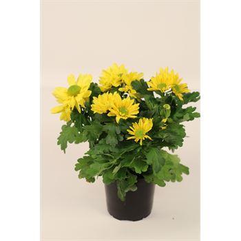 "4.5"" Mums Yellow Daisy (Case 15)"
