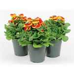 """Additional Images for 5"""" Calceolaria         (Case 14)"""