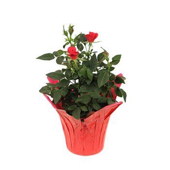 "4"" Rose Assorted (Case 18)"