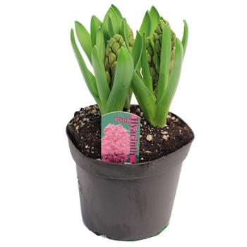 "6"" Hyacinth         (Case 8)"