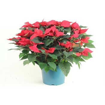 "10"" Poinsettia             RED       (Case 2)"