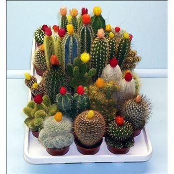 """3.25"""" Cactus - Strawflower"""