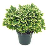 """Additional Images for 4"""" Frosty Fern         (Case 18)"""