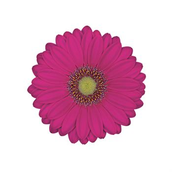 Gerbera Mini Scotty