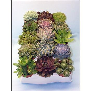 """4"""" Succulent Echeveria in Clay       (Case 15)"""