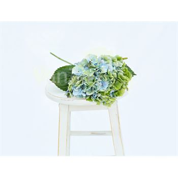Hydrangea Local Antique Blue