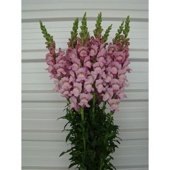 Snapdragon Select Mauve