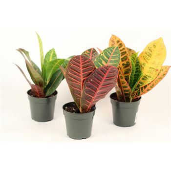 "4"" Croton Assorted           (Case 15)"
