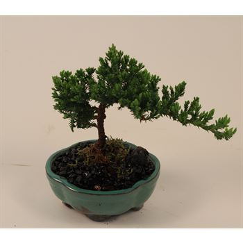 "5"" Bonsai Assortment Small   (Case 12)"