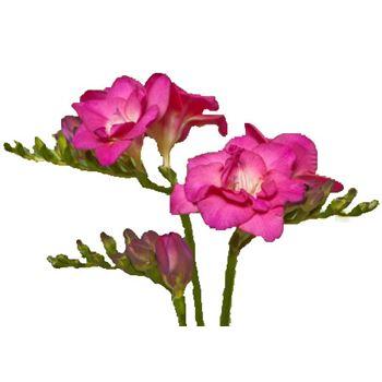 Freesia Pink