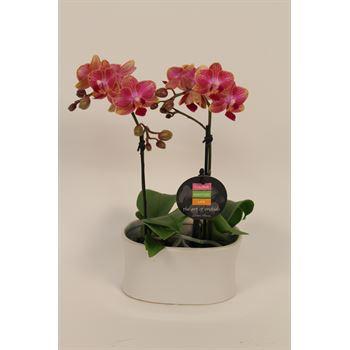 "2.5"" Phalaenopsis Orchids Duo in Ceramic Pots      (Case 6)"