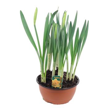 """7"""" Daffodil             (Case 6)"""