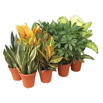 """6"""" Asst Tropical in Potcover  (Case 8)"""