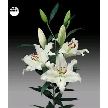 Lily Oriental 2-3 Bloom White