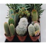 """Additional Images for 3.25"""" Cacti & Succulents Assorted"""
