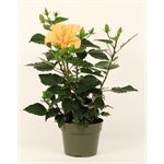 """Additional Images for 6"""" Hibiscus             (Case 8)"""