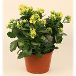 """Additional Images for 6"""" Kalanchoe Yellow (Case 8)"""