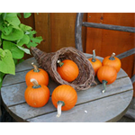 Additional Images for Decorative Dried Accents Wee-B-Little Pumpkins